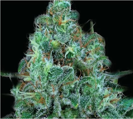 critical kush cannabis strain