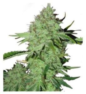 crystal cannabis strain