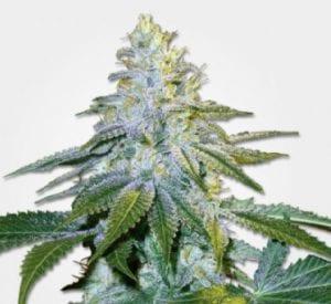 euphoria cannabis strain