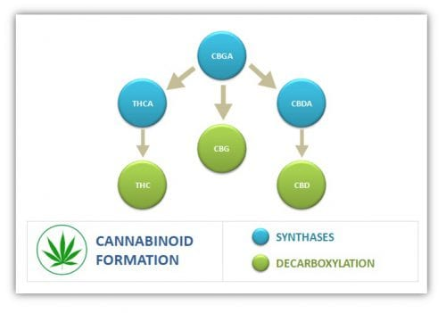 formation of cannabinoids in cannabis
