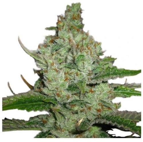 hindu kush cannabis strain