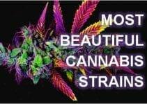 most beautiful cannabis strains