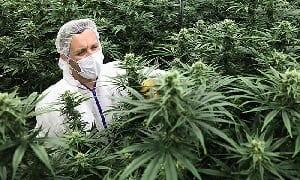 cannabis and the Netherlands