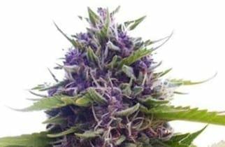 Blueberry Autoflower strain ILGM