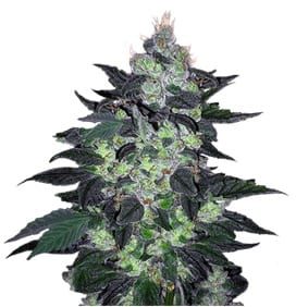 Candy Cane Autoflower strain Crop King Seeds