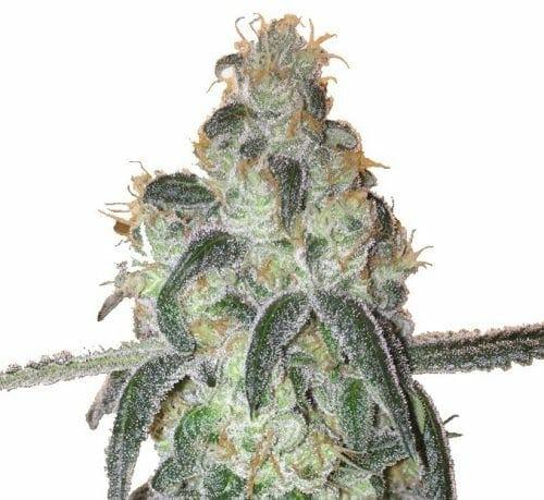 Girl Scout Cookies strain MSNL - best hybrid marijuana strains