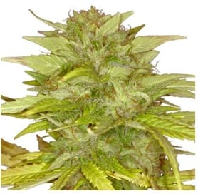 Orange Bud strain ILGM