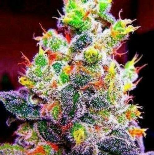 Rainbow Kush strain