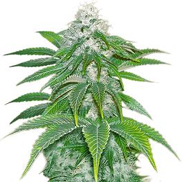 Sour Diesel - best hybrid strains