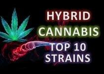 Top 10 best hybrid marijuana strains