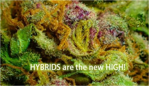 best hybrid cannabis strains 2