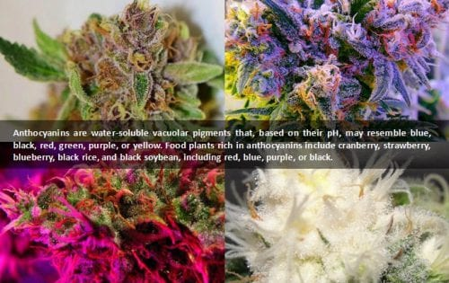 colors of cannabis