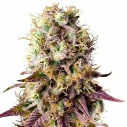 pinkman goo cannabis strain