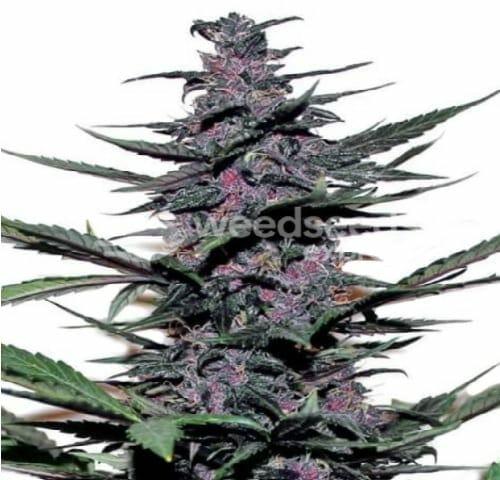sirius black cannabis strain