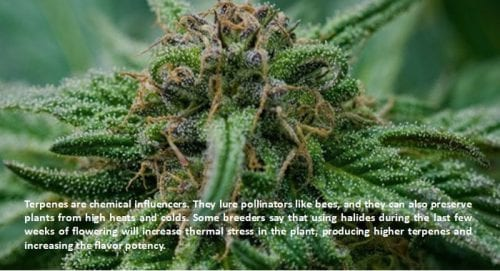 terpenes facts