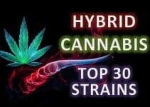 top 30 best hybrid cannabis strains
