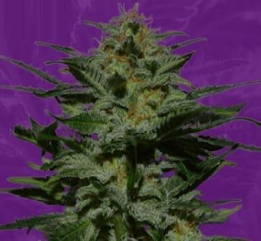 BlackBerry Autoflower strain Crop King