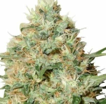 Candy Kush strain