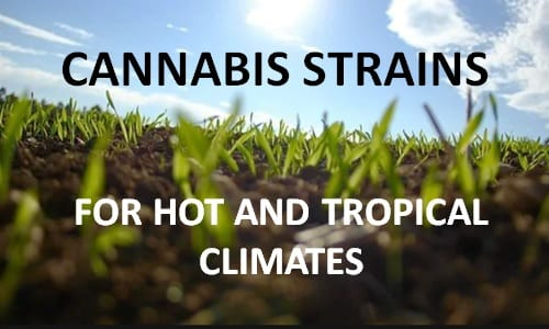 best cannabis strains for hot climates