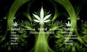 A Complete Guide on Hybrid Marijuana Strains