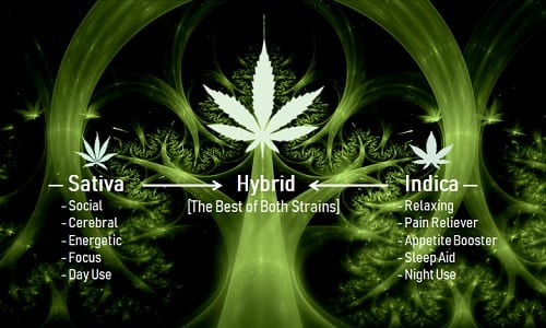 A Complete Guide on Hybrid Marijuana Strains